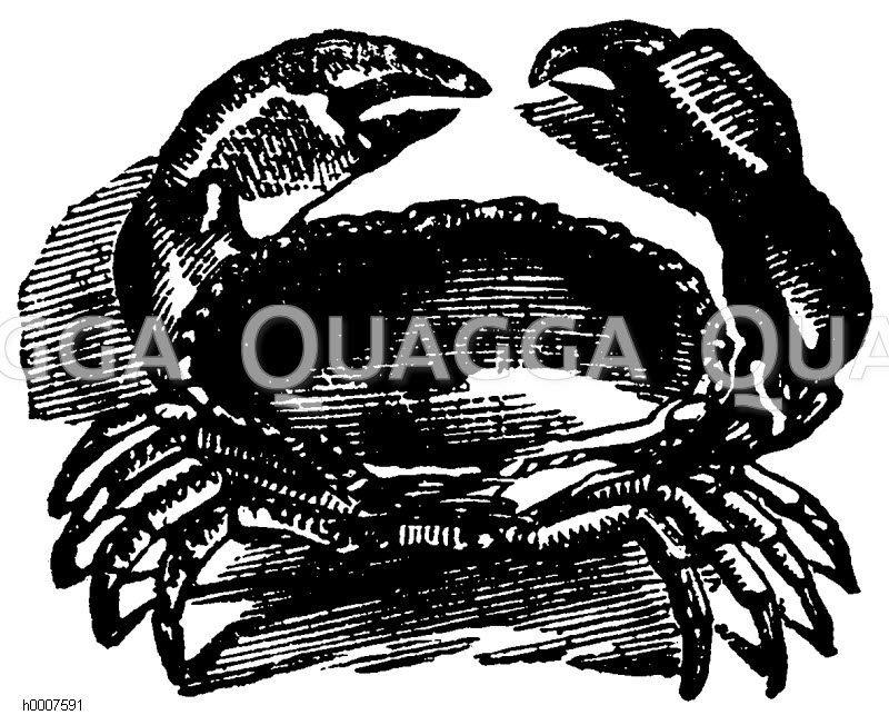 Krabbe Zeichnung/Illustration