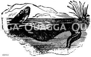 Quappe Zeichnung/Illustration