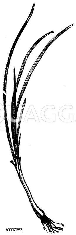 Schnittlauch Zeichnung/Illustration