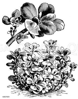 Goldgelber Portulak Zeichnung/Illustration