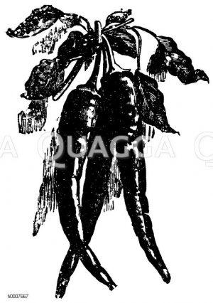 Schnabelförmiger spanischer Pfeffer Zeichnung/Illustration