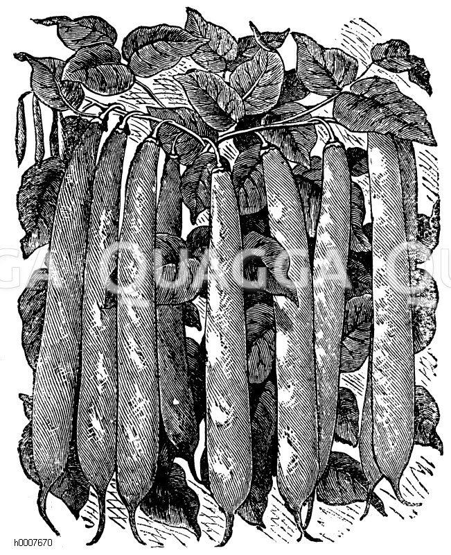 Stangenbohne Zeichnung/Illustration