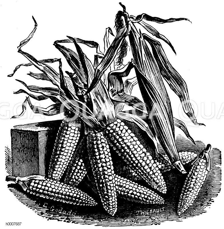 Maiskolben Zeichnung/Illustration