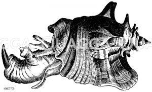 Riesenohr Zeichnung/Illustration