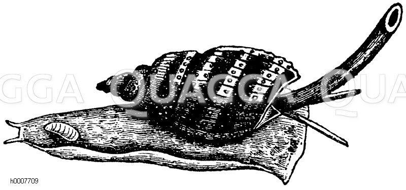 Fischreuse (mit über die Schale ausgestreckter Atemröhre) Zeichnung/Illustration