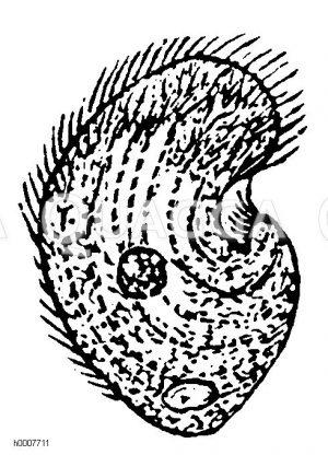 Busentierchen Zeichnung/Illustration