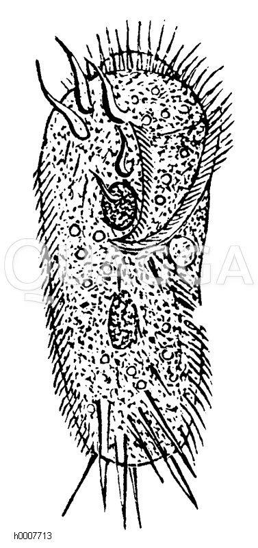 Muscheltierchen Zeichnung/Illustration