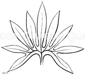 Grüne Nieswurz: Blatt Zeichnung/Illustration