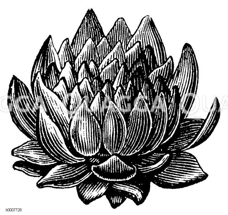 Hauslauch: Blattrosette Zeichnung/Illustration
