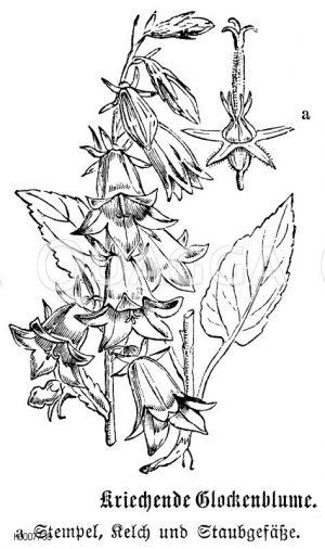 Kriechende Glockenblume Zeichnung/Illustration