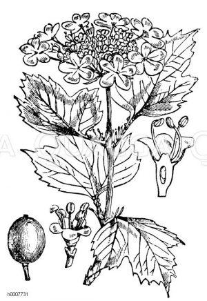 Schneeball Zeichnung/Illustration
