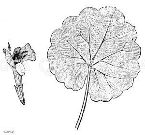 Gundelrebe: Blüte und Blatt Zeichnung/Illustration