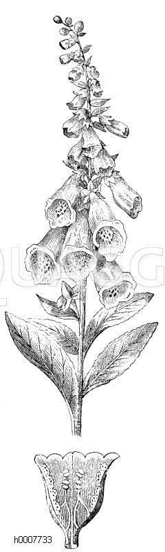 Fingerhut Zeichnung/Illustration