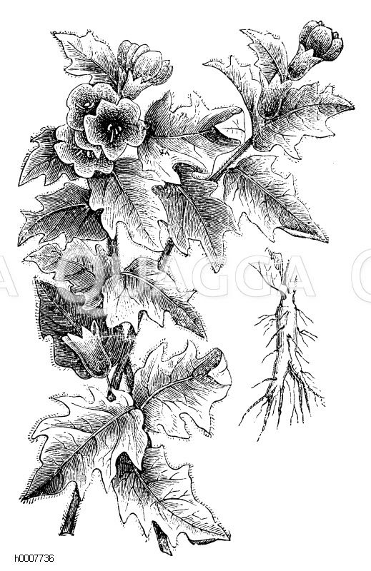 Schwarzes Bilsenkraut Zeichnung/Illustration