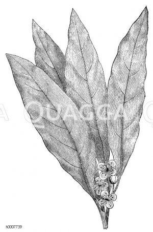 Lorbeerbaum: Blätter mit Blüten Zeichnung/Illustration