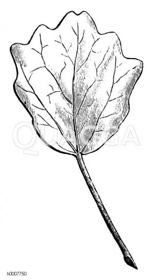 Silberpappel: Blatt Zeichnung/Illustration