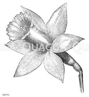 Gelbe Narzisse: Blüte Zeichnung/Illustration