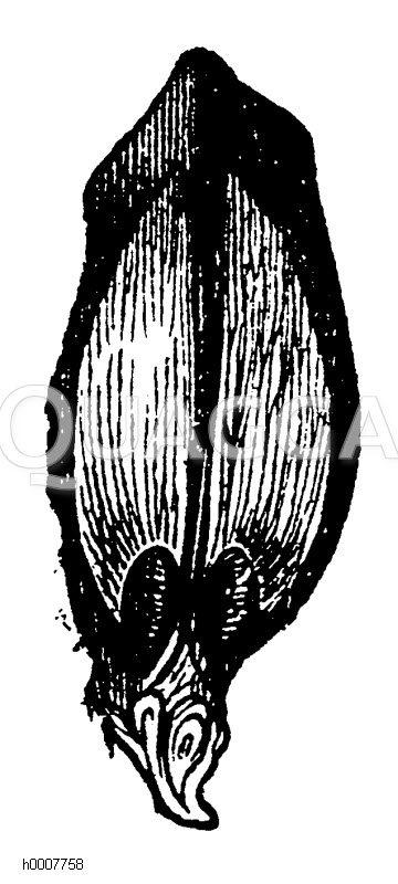 Kiefer: Samen Zeichnung/Illustration