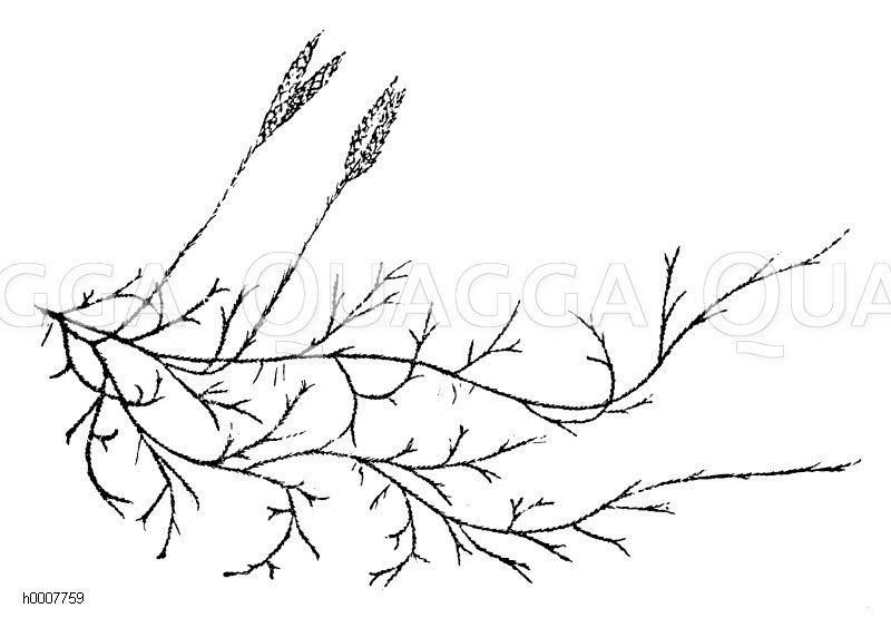 Kolbenbärlapp Zeichnung/Illustration
