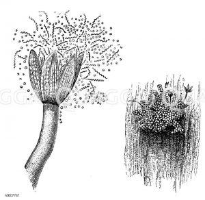 Lebermoos: Kapsel Zeichnung/Illustration