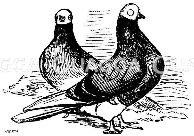 Taube Zeichnung/Illustration