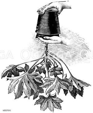 Austopfen einer Aralie zum Verpflanzen Zeichnung/Illustration