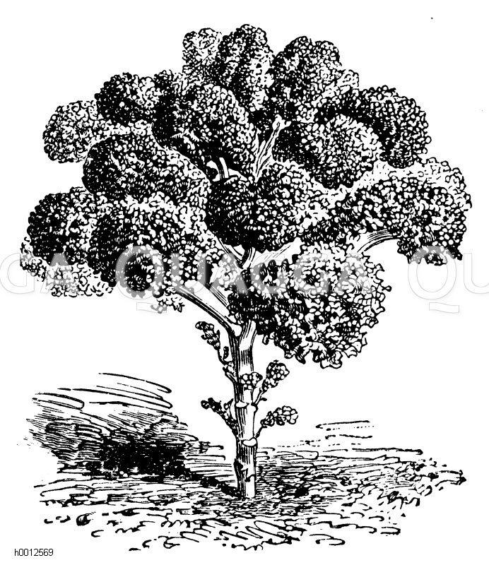 Mittelhoher feingekrauster Blätterkohl Zeichnung/Illustration