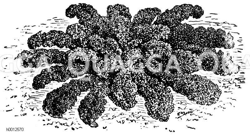 Niedriger krauser Blätterkohl Zeichnung/Illustration