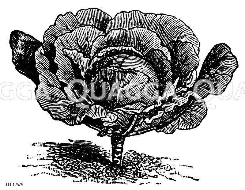 Kleines Erfurter Rotkraut Zeichnung/Illustration