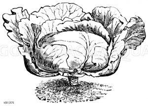 Braunschweiger Weißkraut Zeichnung/Illustration
