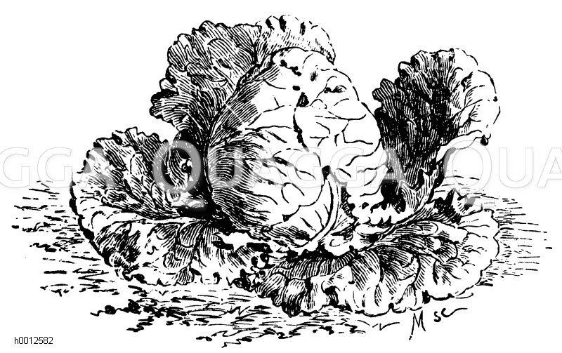 Johannistag-Wirsing Zeichnung/Illustration