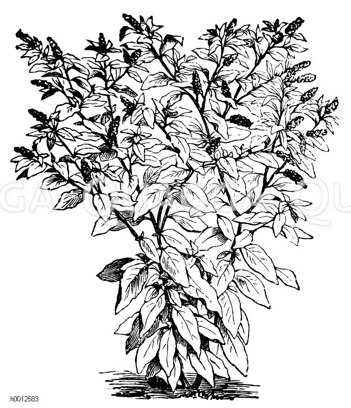 Kermesbeer-Spinat Zeichnung/Illustration