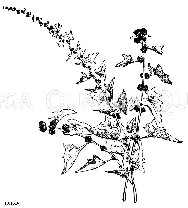 Erdbeer-Spinat Zeichnung/Illustration