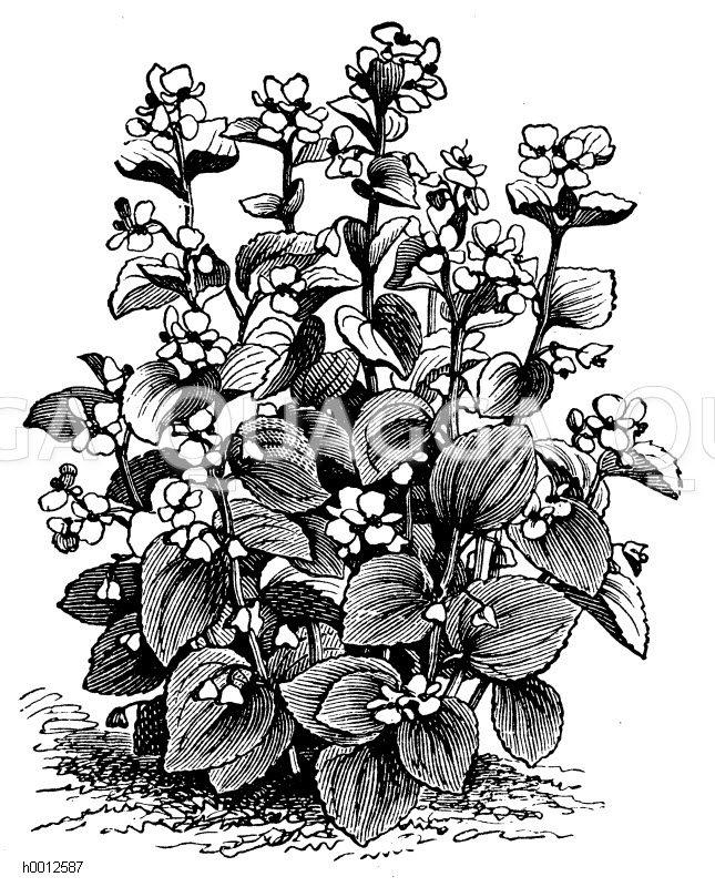 Schiefblatt-Spinat Zeichnung/Illustration