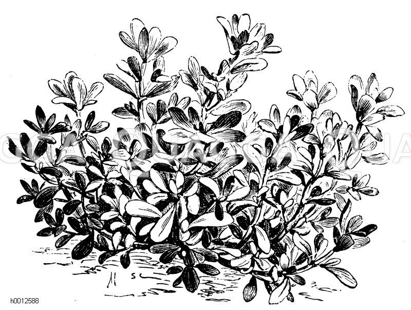 Portulak Zeichnung/Illustration