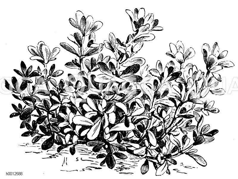 Portulacaceae - Portulakgewächse