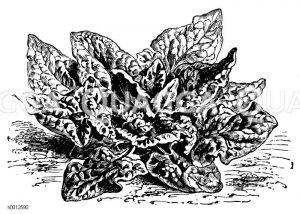 Breitblätteriger spätausschießender Spinat Zeichnung/Illustration