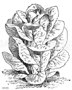 Grüner Bindesalat Zeichnung/Illustration