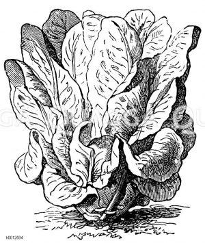 Gelber Pariser Bindesalat Zeichnung/Illustration