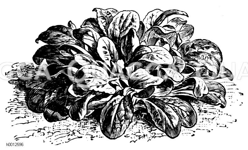 Feldsalat Zeichnung/Illustration