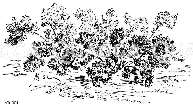 Gartenkresse Zeichnung/Illustration