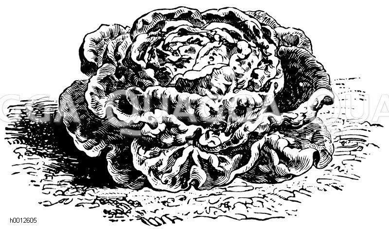 Brauner Wintersalat Zeichnung/Illustration