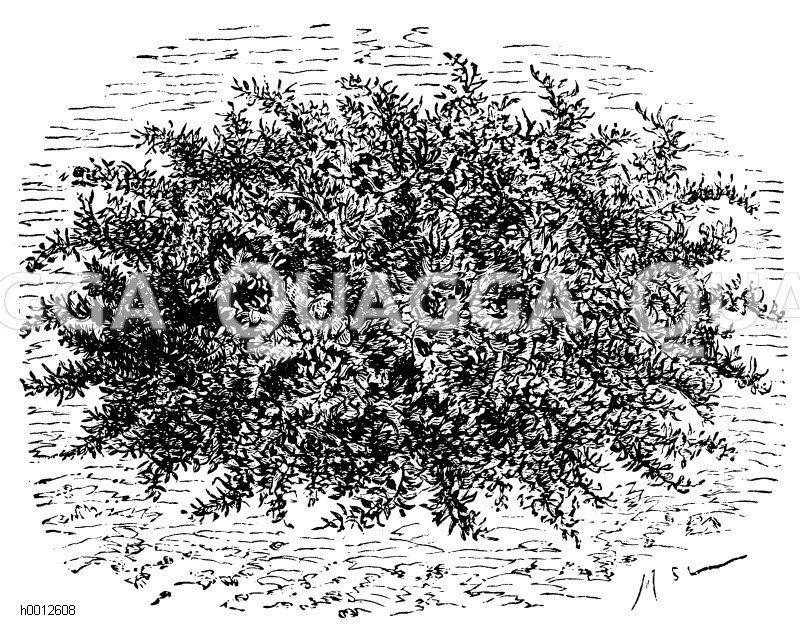 Krausblätteriger Löwenzahn Zeichnung/Illustration