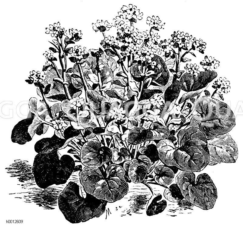 Löffelkraut Zeichnung/Illustration