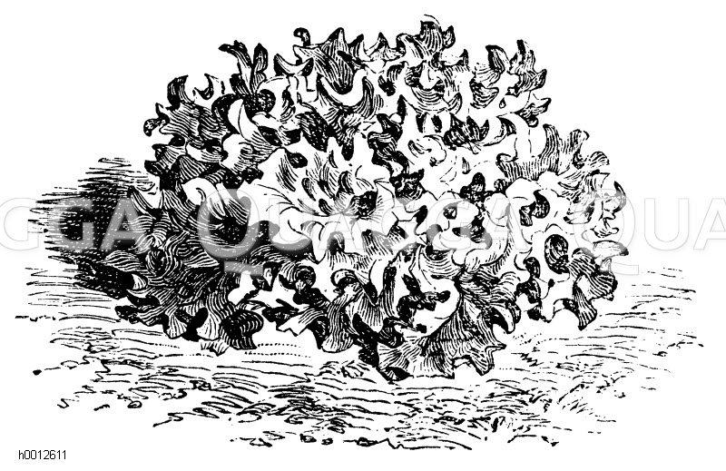 Pflücksalat Zeichnung/Illustration