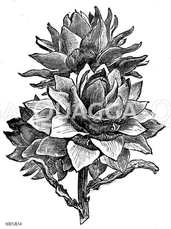 Blütenköpfe der Artischocke Zeichnung/Illustration