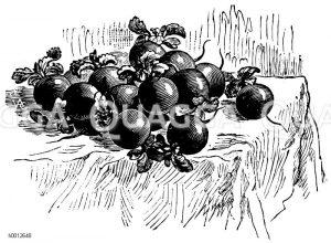 Runde Radieschen Zeichnung/Illustration