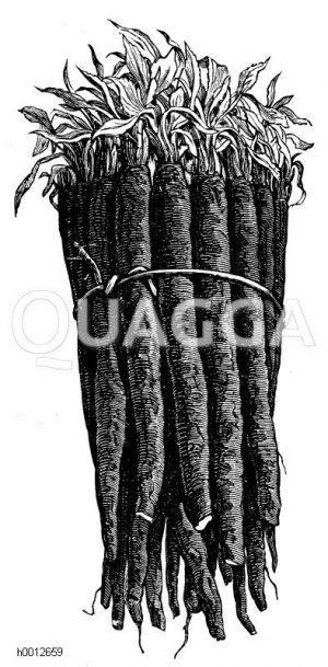Schwarzwurzel Zeichnung/Illustration