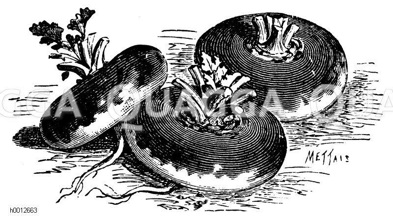 Rotköpfige Mairübe Zeichnung/Illustration