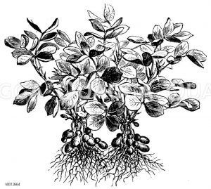 Erdnuss Zeichnung/Illustration